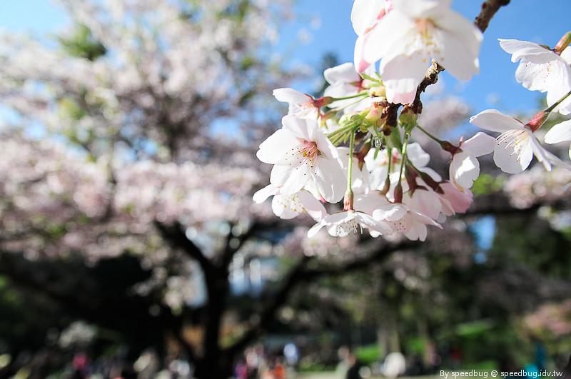 阿里山櫻花季89