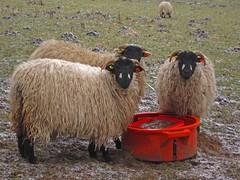 What Ewe Looking At? (RoystonVasey) Tags: winter snow west ice canon grey looking sheep walk yorkshire north lick ixus feed 95 staring dales burton warpaint wensleydale ewe ydnp