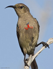 Greater Double-collared Sunbird (Sue In Clearwater) Tags: birds southafrica greaterdoublecollaredsunbird gansbay