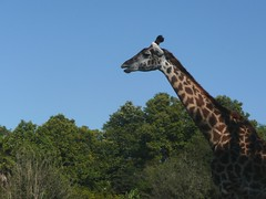 Giraffe (Tasmin_Bahia) Tags: blue trees sky holiday green print pattern florida tall giraffe