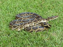 Burmese python in the Everglades (USFWS/Southeast) Tags: snake everglades python evergladesnationalpark invasivespecies burmesepython