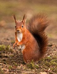 Youv'e Been Framed!   (Red Squirrel) (marsch1962) Tags: red nature squirrels wildlife tail northumberland mammals tufty redsquirrel