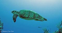 Sea Turtle (Squirrel Girl cbk) Tags: ocean blue sea green june mexico marine underwater turtle barbara cozumel seaturtle 2010 squirrelgirl amende barbaraamende barbaraaamende