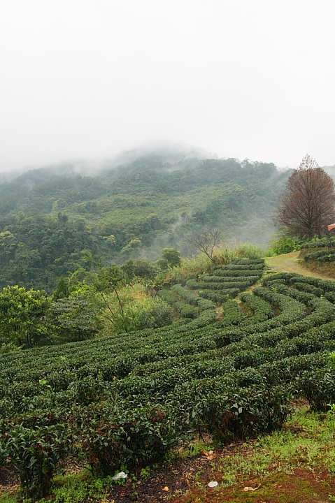 玉蘭茶園櫻花0018