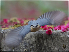 Eurasian Nuthatch 茶腹鳾展趐飛走囉!! (jjcat) Tags: birds canon taiwan 300mm 7d f28 eurasiannuthatch 茶腹鳲