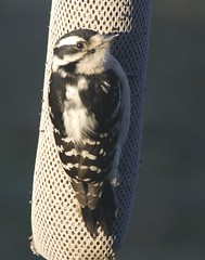 Downy Woodpecker on Finch sock (Jeff Cushner) Tags: downywoodpecker finchsock nygerseed thewonderfulworldofbirds