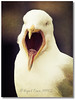 Open Wider (Manin The Moon) Tags: bird tongue seagull gull teeth beak herring fbdg