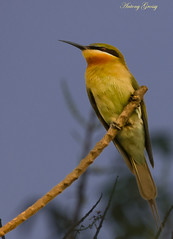 Green Bee Eater (AntoGros) Tags: wild india nature birds kerala cochin greenbeeeater indianbirds keralabirds varapuzha mygearandme peregrino27life