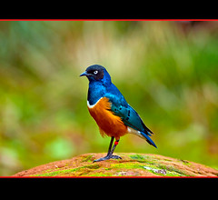 Superb Starling (Lamprotornis superbus) (Steve Wilson - classic view please) Tags: africa uk greatbritain blue england brown color colour bird nature beautiful beauty animal gardens garden tanzania zoo nikon colorful cheshire superb kenya britain african wildlife great feathers conservation starling chester lamprotornis colourful uganda d200 ethiopia captive avian somalia captivity russet upton chesterzoo superbus zoological superbstarling lamprotornissuperbus zoologicalgarden zoologicalgardens nikond200 specanimal caughall blinkagain bestofblinkwinners