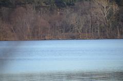 DSC_0075 (rlg) Tags: bird heron animal wednesday 22 flying february greatblueheron 2012 ardeaherodias gbh fpr 0222 201202 20120222 nikond5100 02222012