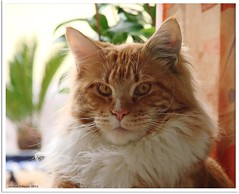 Oscar, well-pleased Teenager (Jorbasa) Tags: red orange pet rot animal cat germany deutschland ginger hessen oscarwilde mainecoon katze satisfaction kater tier tomcat satisfied wetterau zufrieden zufriedenheit jorbasa redtabbywhite