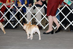 IMG_1739 (6925031) Tags: newyork champion frenchbulldog dogshow champions specialty bestinshow canadianamerican grandchampions bestinspecialtyshow february2012 prewestminster puppysweepstakes