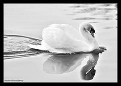 displaying swan (Steve Denny) Tags: uk england reflection water birds kent swan pond wildlife sony ripples waterfowl tamron beckenham a300 matingdisplay englishwildlife