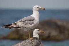 From the Seagulls series (Dim1976) Tags: trip travel sea summer bird nature birds nikon aya seagull ukraine balaklava crimea blacksea         nikkor70300    capeaya  nikond90 crimeanmountains