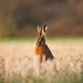 Brown Hare (Lepus europaeus) Notts WT