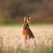 Brown Hare (Lepus europaeus) Notts WT
