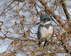 I Love Getting Belted (Wes Aslin) Tags: canada male avian abbotsford beltedkingfisher cerylealcyon tc14eii nikkor300mmf4afs