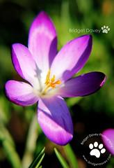 The purple Crocus (Bridget Davey (www.bridgetdavey.com)) Tags: iris plant flower macro canon garden spring purple crocus perennial