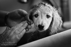 Bath Time (Russ Beinder) Tags: bw dog chien wet puppy blackwhite bath canine dachshund clean wash doggy pup sherman daschund k9 purebred 85mmf14