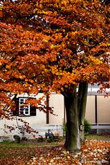 Red Maple (Lamboram) Tags: autumn fall maple colorsoflife sonydslr