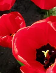 """Red Elegance"" by My Lovely Wife (Puzzler4879) Tags: flowers red macro brooklyn niceshot tulips bbg brooklynbotanicgarden pointshoot publicgardens botanicgardens redflowers canonpowershot redtulips canondigital canonaseries floralfantasy canonphotography wonderfulphotos tulipmacro perfectpetals canonpointshoot flickraward flickrbronzeaward a580 ~nature canona580 canonpowershota580 powershota580 awesomeblossoms 100commentgroup naturestreasures theflowerbasket amazingdetails dragonflyawards unforgettableflowers floralfantasia handselectedphotographs universeofnature naturesprime naturewithallitswonders mygearandme mygearandmepremium mygearandmebronze mygearandmesilver mygearandmegold mygearandmeplatinum mygearandmediamond weloveallflowers level1photographyforrecreation redgroupno1 yellowgroupno2 level1autofocus shieldofexcellenace"