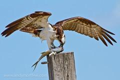 The Fatal Bite (Andy Morffew) Tags: florida osprey pompano marcoisland tigertailbeach specanimal avianexcellence fatalbite blinkagain andymorffew morffew