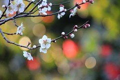 Plum blossoms with colorful bokehs (tanakawho) Tags: white plant flower color tree nature spring colorful dof blossom bokeh plum twig bud tanakawho weekendshowcasetwtme