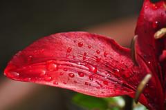 Lirio Rojo - Red Lilly (VivaFoto) Tags: flowers flores drops gotas dew waterdrops rocio gotasdeagua redlilly lilrio liriorojo