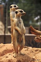 Meerkat on lookout duty (hannes.steyn) Tags: africa nature animals fauna canon southafrica meerkat wildlife getty mammals reserves lionpark gauteng 550d hannessteyn canonefs18200mmf3556is canon550d eosrebelt2i gettyimagesmeandafrica1