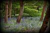 The Bluebell Orchard (Eleanor (No multiple invites please)) Tags: bluebells fantasticnature grimsdyke naturesgallery thethreeangels shieldofexcellence goldstaraward royalawards qualifiedmembersonly nikonflickraward photographersworld naturescreations naturesbeautifulpictures certifiedphotographerlevel1 anythingnikonexceptpeople