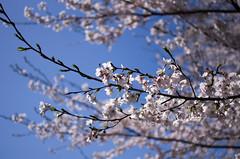 IMGP6875 (Amad) Tags: flower japan spring   sakura kiryu