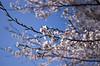 IMGP6875 (Aḥmad) Tags: flower japan spring 桜 日本 sakura kiryu زهرة 春 さくら ساكورا ربيع 桐生 يابان