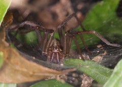 I. See. You. (out in the sticks) Tags: brown black macro female spider arachnid dslr invertebrate arthropod housespider funnelwebspider tegenaria agelenidae aranae canonef100mmf28macrousm canoneos50d sheetweb macrolife