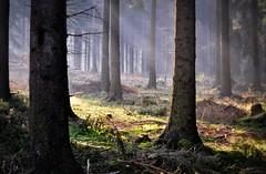 Silence (SpitMcGee) Tags: germany earlymorning eifel silence nrw wald stille ruhe forst meineheimat frühermorgen schevenhütte