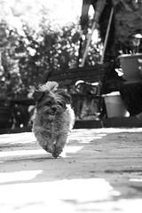 Linda the princess (Luca Pisanu) Tags: dog white house black field animal tongue cane canon fur dof teeth running linda e 5d dust bianco nero depth animale corsa dlsr hom mark2 shitsu