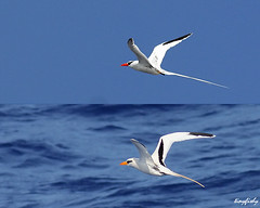 (#480) & (#481) Red-Billed Tropicbird & White-Tailed Tropicbird (tinyfishy) Tags: cruise red white bird dawn flying inflight ship flight atlantic norwegian species tailed pelagic billed tropicbird whitetailedtropicbird code3 redbilledtropicbird