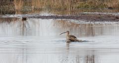 Whimbrel (Regenwulp) (Kees Waterlander) Tags: birds nederland vogels aves peat veen moor bog drenthe moorland whimbrel numeniusphaeopus bargerveen regenwulp theneterlands hoogveen
