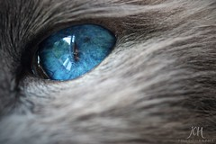 Cat's Eye View (158/365)  (Explored - 7/5/12 No.258) (Jchales.co.uk) Tags: blue cats white eye contrast cat project grey feline day view cream days 365 marble roo 158 birman canonef100mmf28macro