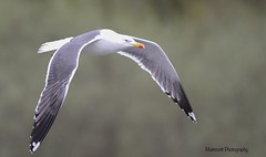 Lesser Black-backed Gull (Matt Scott Wildlife Photography) Tags: elements