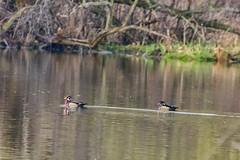 WoodDucks (jmishefske) Tags: park wood nature wisconsin franklin duck nikon may ducks center milwaukee wehr 2014 whitnall halescorners d7100