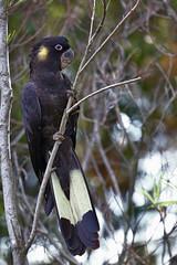 Yellow Tail Black Cockatoo (chrisprohm) Tags: bird nature birding australianbirds yellowtailblackcockatoo birdlover birdphotos