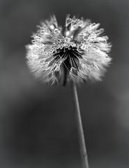 Bad hair day. (Joseph Skompski) Tags: blackandwhite bw nature weeds weed maryland dandelion catonsville catonsvillemd