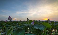 Lotus (cuongchido) Tags: trees sky cloud tree green clouds landscape natural lotus vietnam tokina1116mm