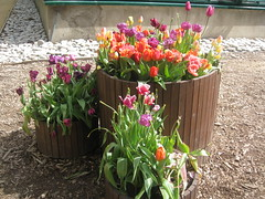 tulips (VERUSHKA4) Tags: tulip colured canon beautiful nature botanic garden moscow russia spring may decoration red purple verdure leaves green vue ville cityscape view fleur composition stones ground verushka4