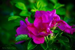 Temps des fleurs ... ( P-A) Tags: photos fragile sourire bonheur printemps couleur tendresse verdure belles visiteurs veil admirateurs renouveau fracheur nikonflickraward simpa