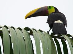 P4278783 (lychee_vanilla) Tags: bird animal toucan costarica tier tucn blackmandibledtoucan ramphastosambiguus vigel quioro tucnpiconegro
