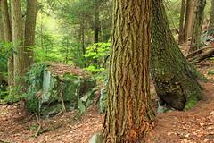Hypsy Creek (5) (Nicholas_T) Tags: trees nature forest spring rocks hiking pennsylvania bark poconos ravine trunks coniferous publicdomain monroecounty hemlocks oldgrowthforest freephoto tsugacanadensis freeimage easternhemlocks cc0 stategamelands38 stategameland38 sgl38 needleduff hypsycreek hypsygap