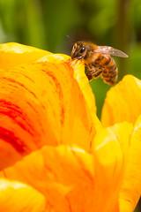 IMG_1478-Keukenhof.jpg (markkras-fotografie) Tags: tulipa keukenhof tulp