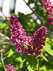 wiosna Frhling spring in unsern Garten (arjuna_zbycho) Tags: spring frhling wiosna bez badenbeiwien lilak