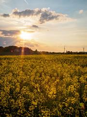 Sunshine (khn.carsten) Tags: plant flower nature germany landscape deutschland sonnenuntergang jahreszeit natur himmel wolken eifel landschaft sonne sonnenaufgang raps bitburg frhling ort blumenundpflanzen